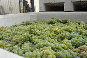 Sauvignon Blanc grapes from the Laurent Vineyard in St. Helena ready for crush at Amici Cellars.